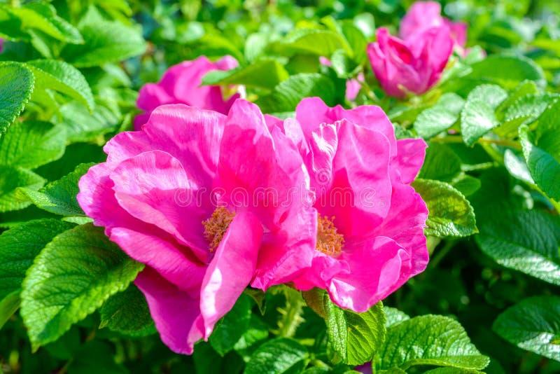 Różowy Dogrose, wrzosa eglantine kwiat Dziki Różany biodra zbliżenie zdjęcie stock