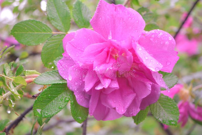Różowy Dogrose, wrzosa eglantine kwiat Dziki Różany biodra zbliżenie fotografia stock