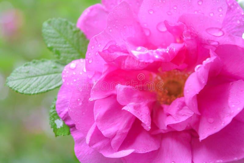 Różowy Dogrose, wrzosa eglantine kwiat Dziki Różany biodra zbliżenie zdjęcia royalty free