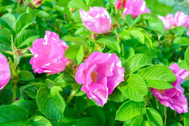 Różowy Dogrose, wrzosa eglantine kwiat Dziki Różany biodra zbliżenie obraz royalty free