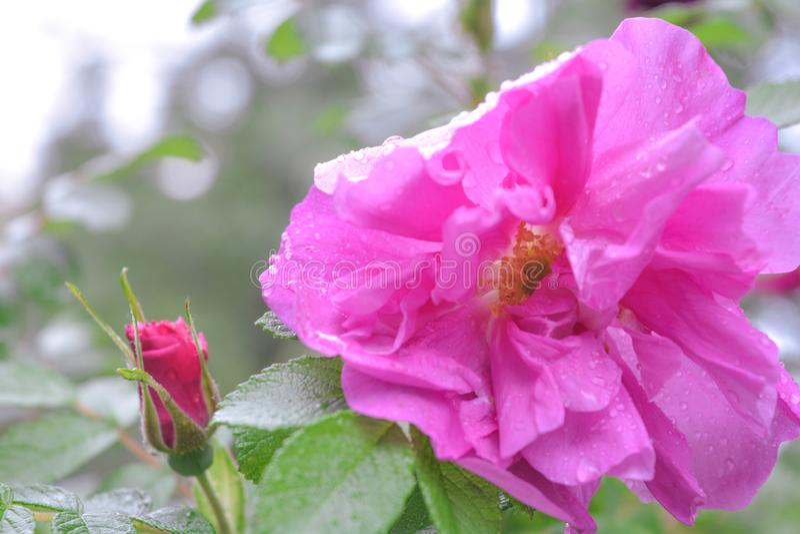 Różowy Dogrose, wrzosa eglantine kwiat Dziki Różany biodra zbliżenie zdjęcia stock