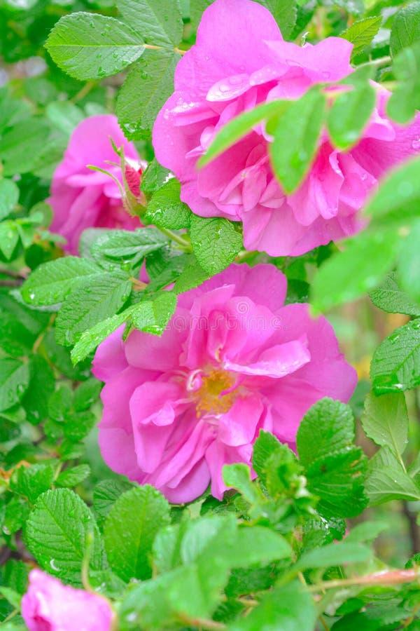 Różowy Dogrose, wrzosa eglantine kwiat Dziki Różany biodra zbliżenie obrazy stock