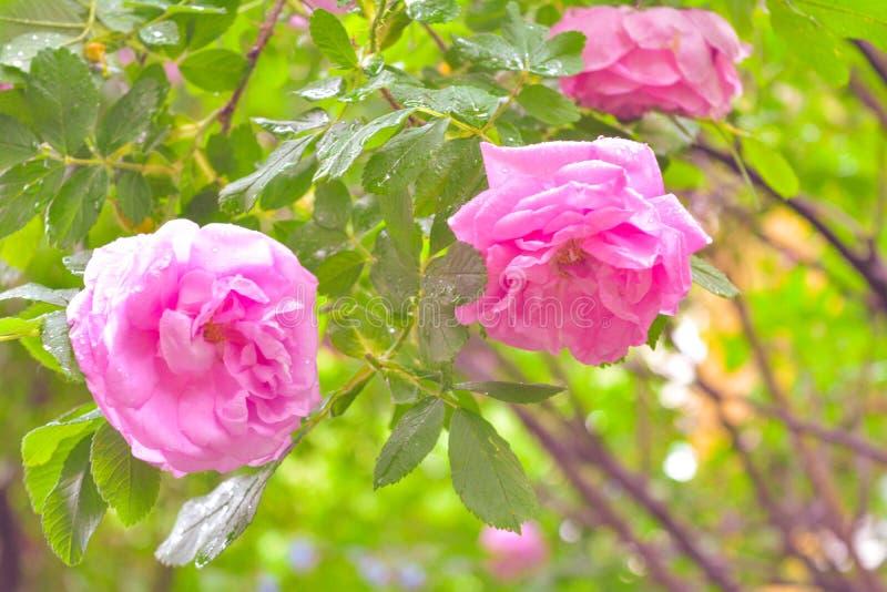 Różowy Dogrose, wrzosa eglantine kwiaty Dziki Różany biodra zbliżenie obrazy royalty free