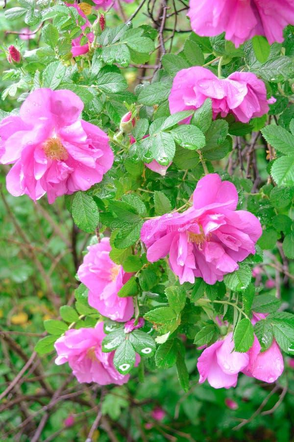 Różowy Dogrose, wrzosa eglantine kwiaty Dziki Różany biodra zbliżenie zdjęcie stock