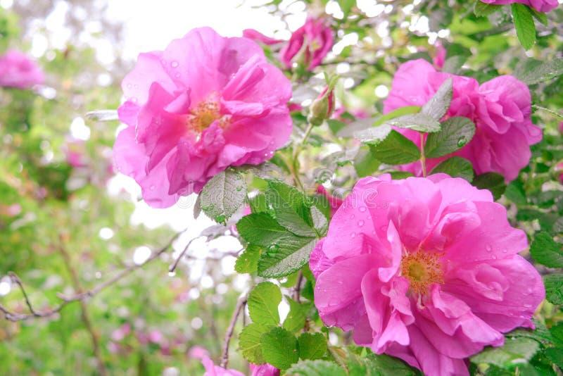 Różowy Dogrose, wrzosa eglantine kwiaty Dziki Różany biodra zbliżenie obraz royalty free