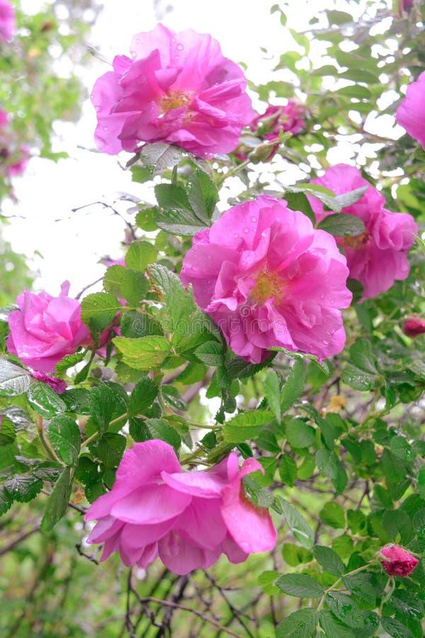 Różowy Dogrose, wrzosa eglantine kwiaty Dziki Różany biodra zbliżenie zdjęcie royalty free