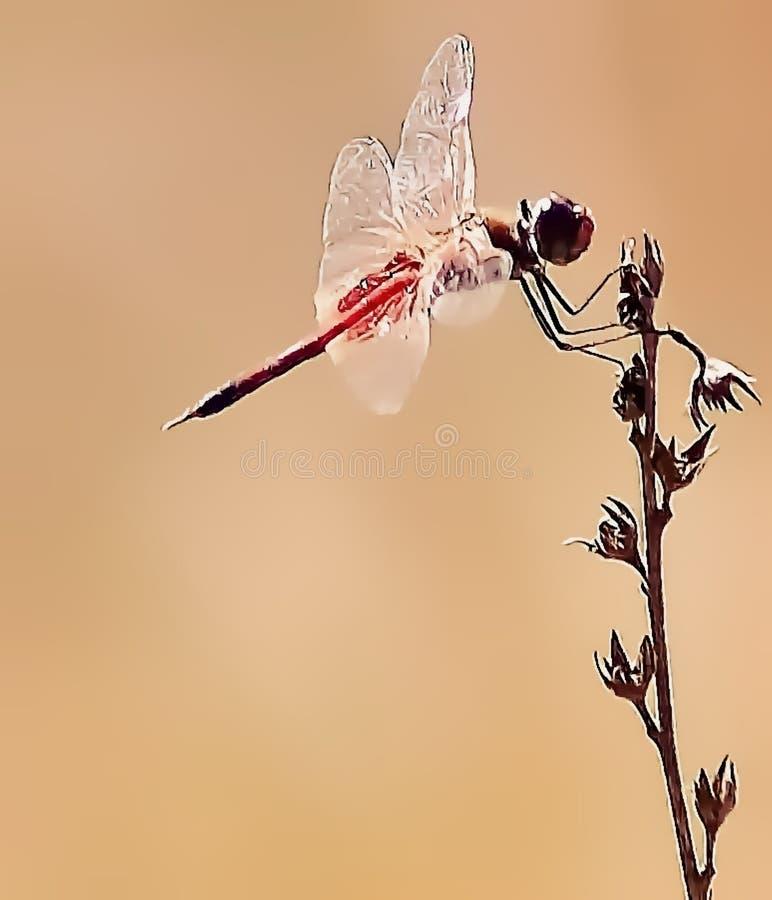 Różowy Dragonfly piękno fotografia royalty free