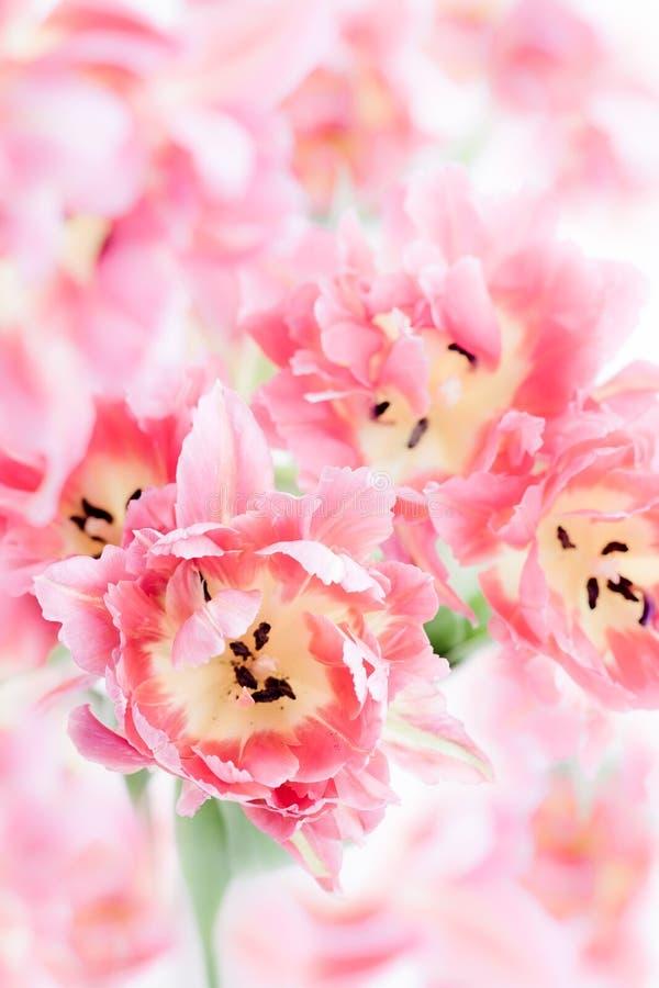 Różowy dwoisty peonia tulipan obrazy royalty free
