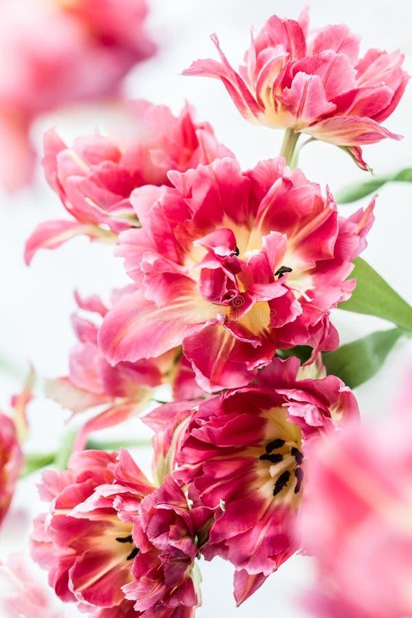 Różowy dwoisty peonia tulipan fotografia stock