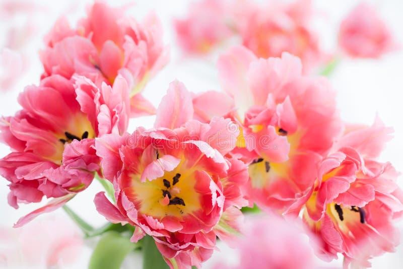 Różowy dwoisty peonia tulipan obrazy stock