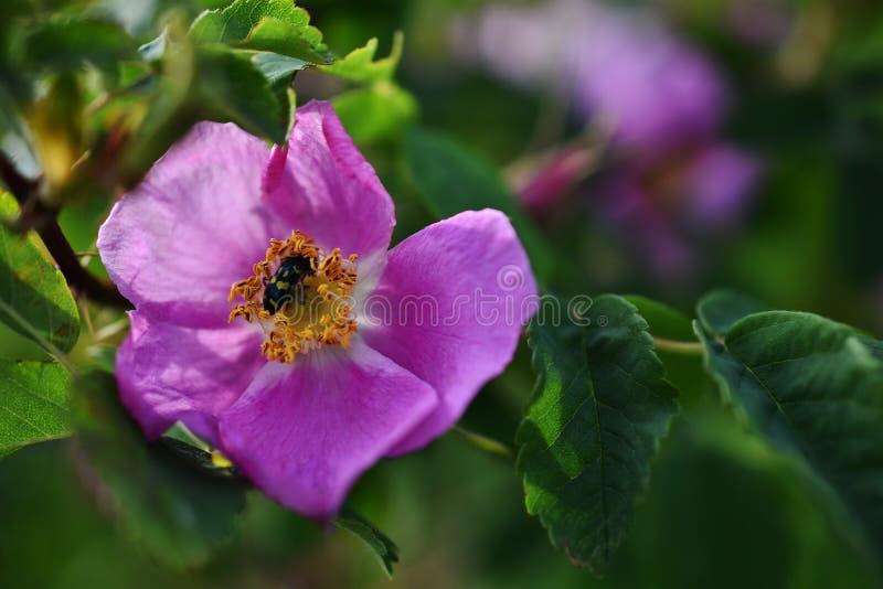 Różowy Dziki róży zakończenie Up fotografia stock