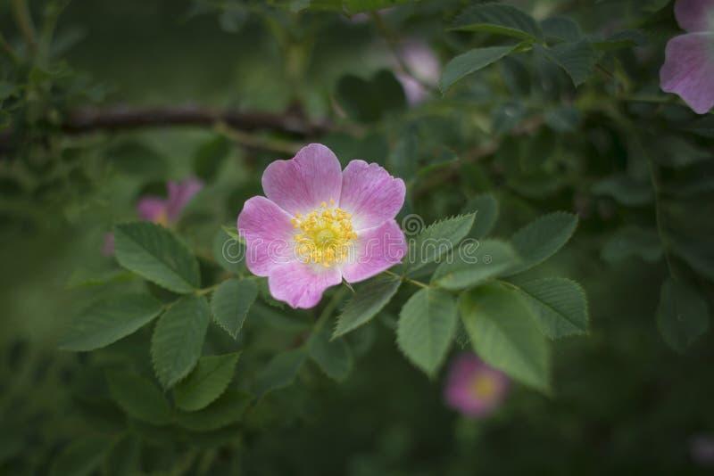 Różowy eglantine wzrastał zdjęcie royalty free