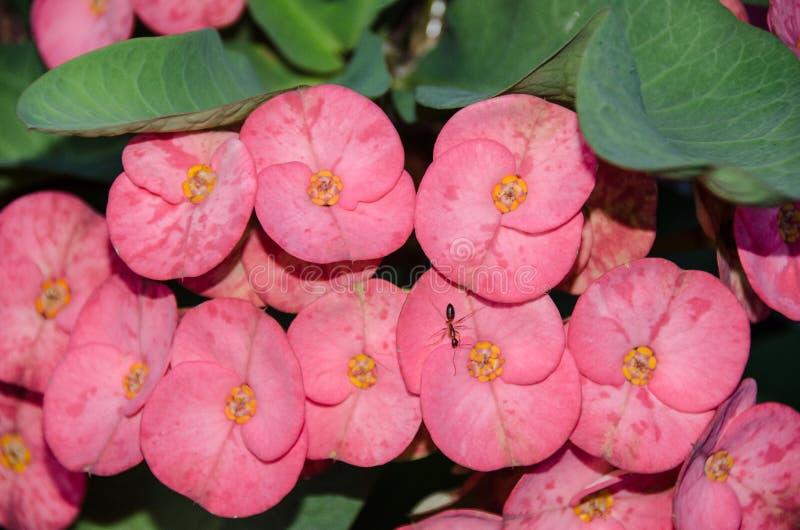 Różowy euforbii Milii kwiat z mrówką zdjęcie stock