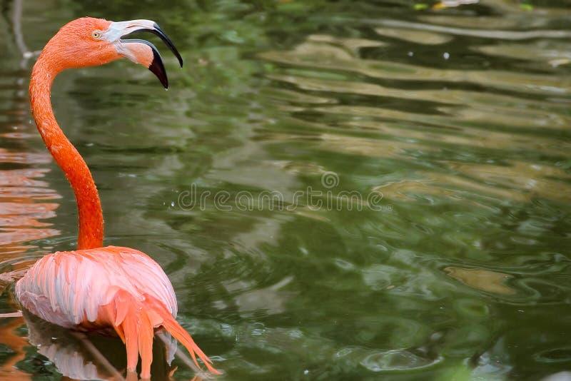 Różowy flaming w stawie zdjęcie stock