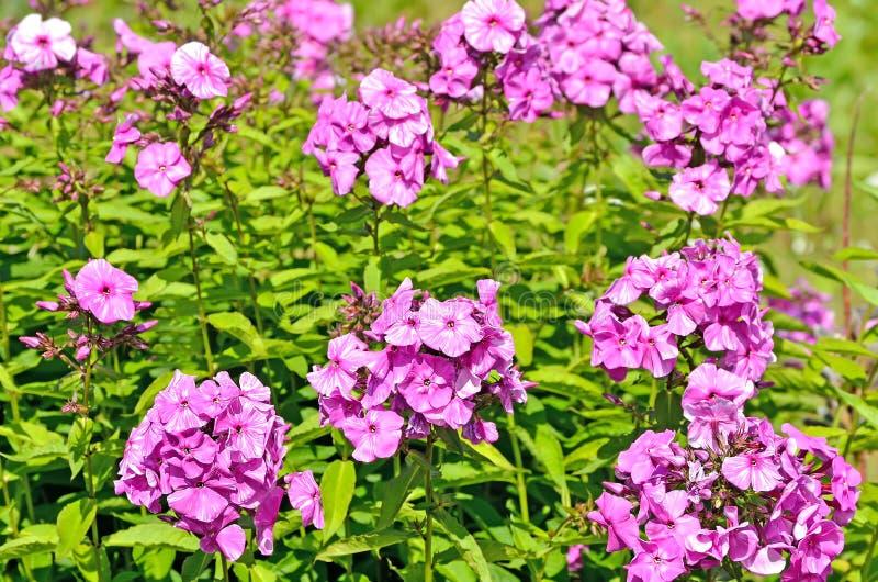 Różowy floks obrazy stock