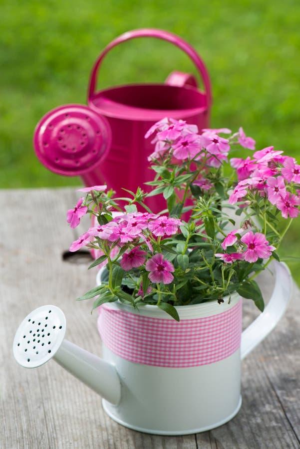 Różowy floks zdjęcia stock