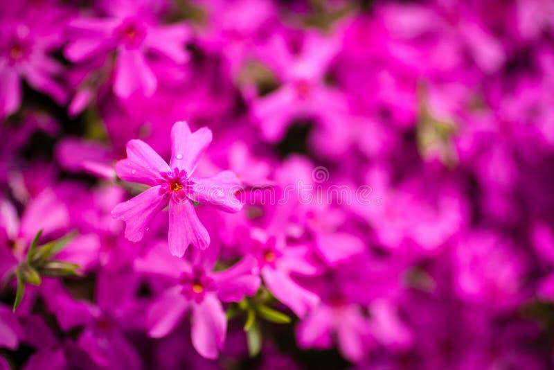 Różowy floks zdjęcie stock