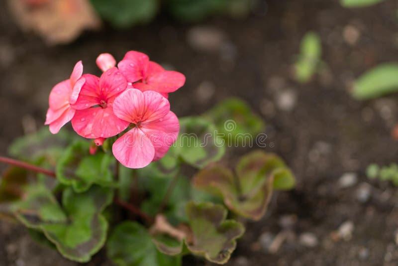 Różowy flowerd z deszczem opuszcza w ogródzie zdjęcie royalty free