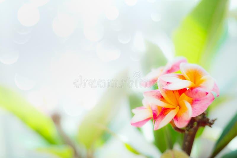 Różowy Frangipani kwitnie na bokeh natury tle obraz stock