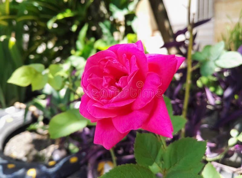 Różowy fuksi róży kwiat, duzi płatki w dzikim ogródzie Miłość, romans, pasja zdjęcia stock