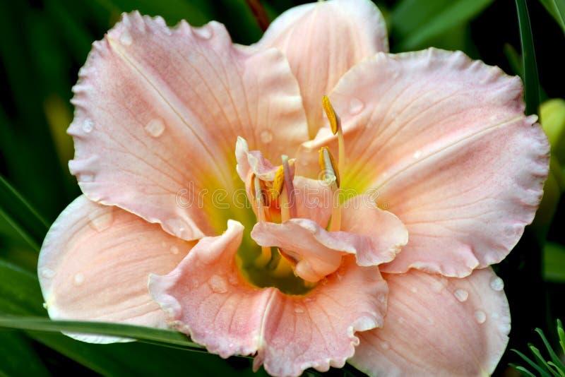 Różowy galanteryjny lelui zakończenie up zdjęcie stock