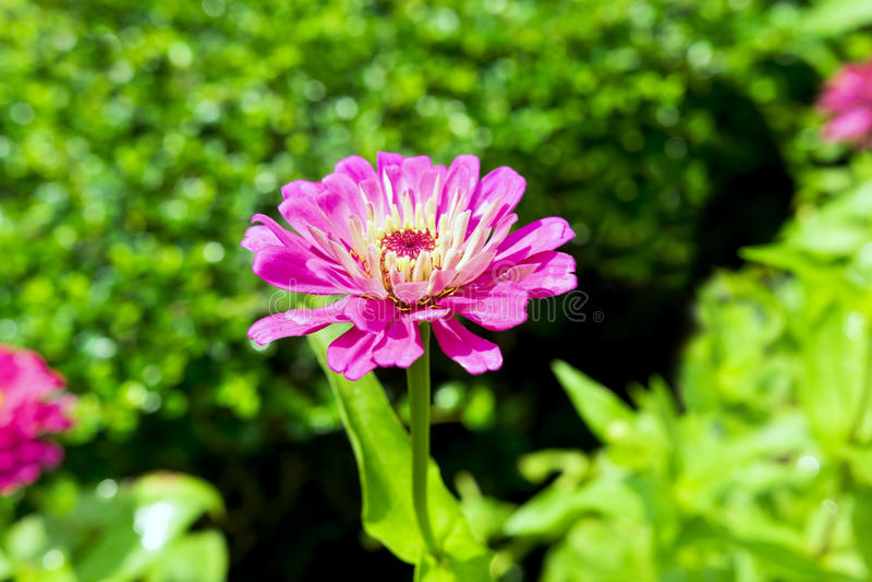 Różowy Georgina fotografia stock
