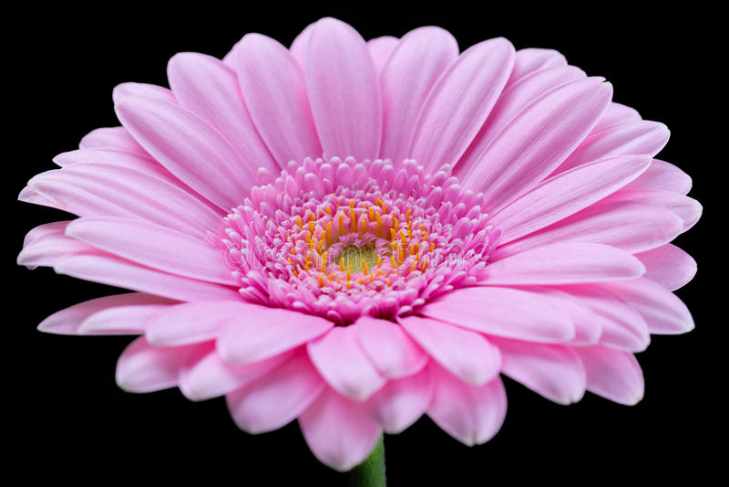 Różowy Gerber obraz stock