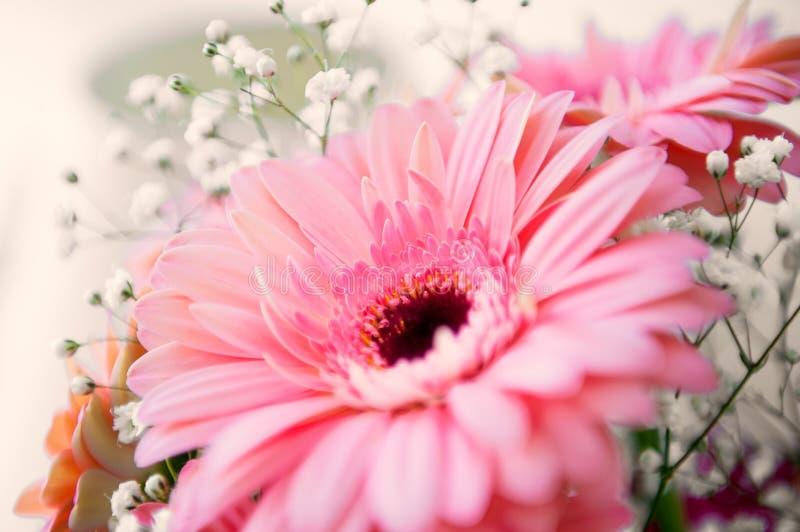 Różowy gerber kwiat zdjęcie royalty free