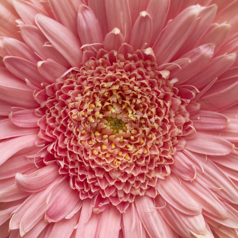 Różowy Gerber stokrotki zbliżenie obrazy royalty free