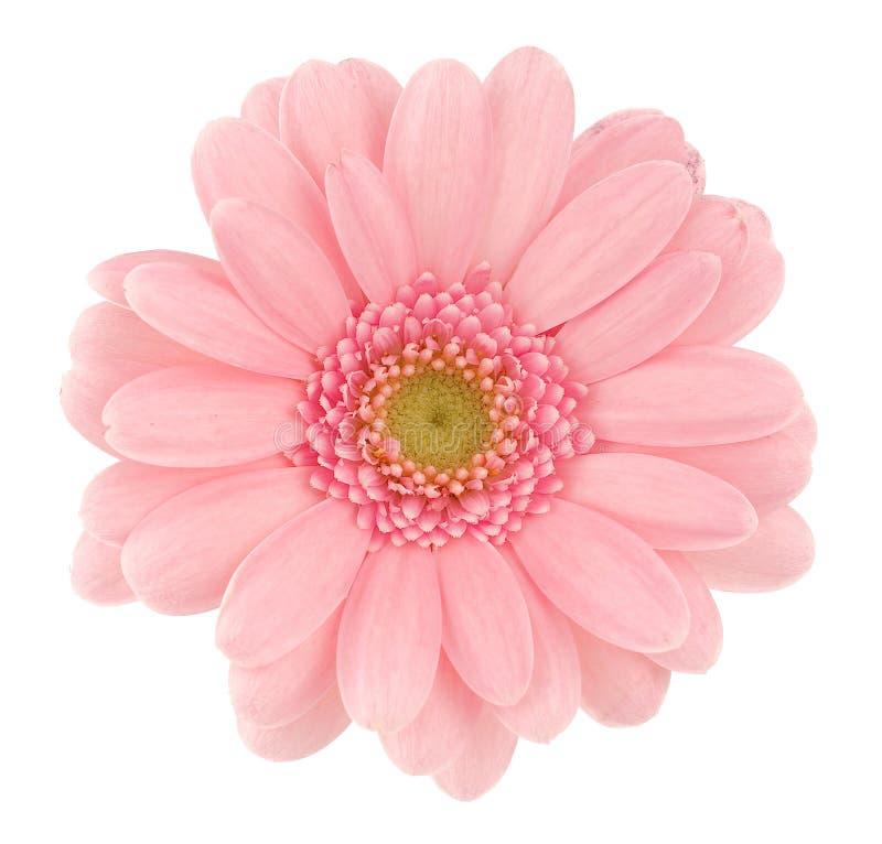 różowy gerbera zdjęcia royalty free