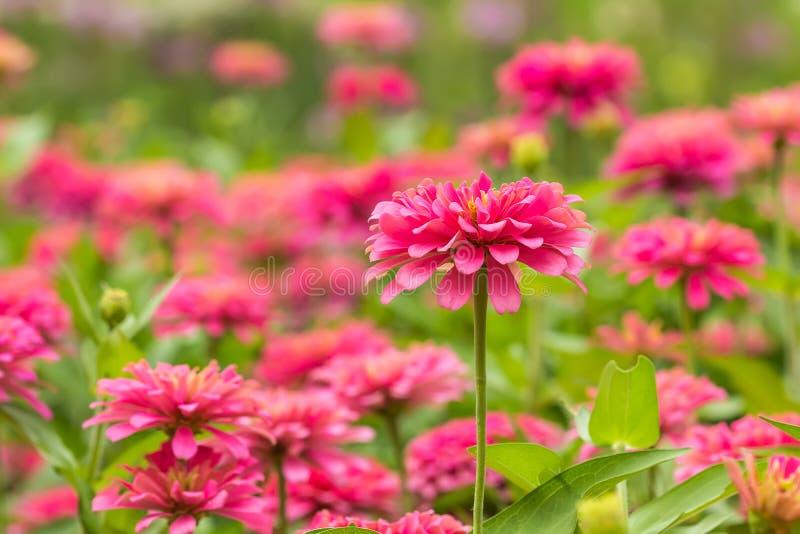 Różowy Gerbera, Barberton stokrotka fotografia royalty free