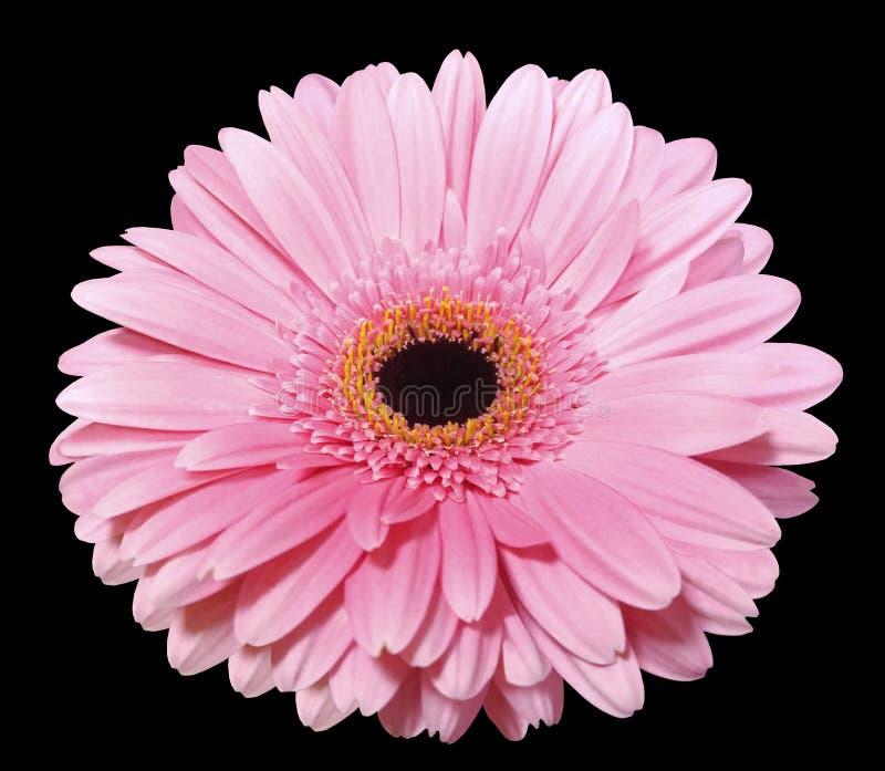 Różowy gerbera kwiat, czerni odosobnionego tło z ścinek ścieżką zbliżenie obraz royalty free