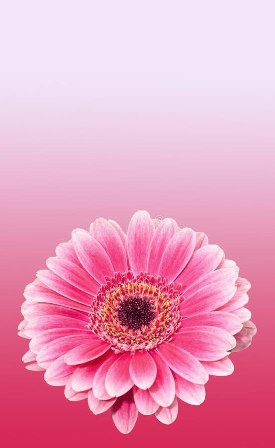 Różowy gerbera kwiat, zamyka up, barwiony degradee tło Stokrotki rodzina obraz stock