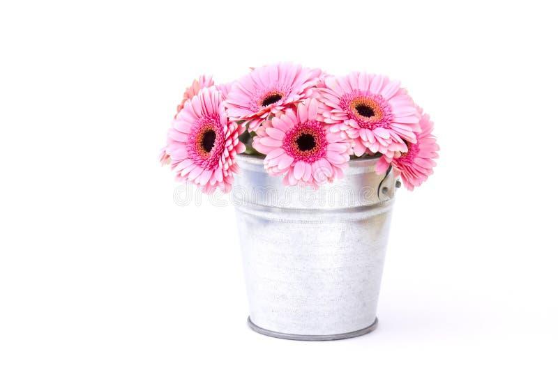 Różowy gerbera kwitnie w wiadrze fotografia stock