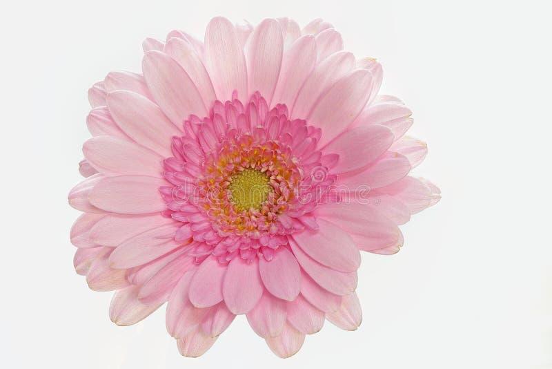 Różowy gerbera na białym tle, dużym, centrala zdjęcia stock