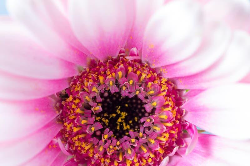 Różowy Gerbera stokrotki centre zdjęcie royalty free
