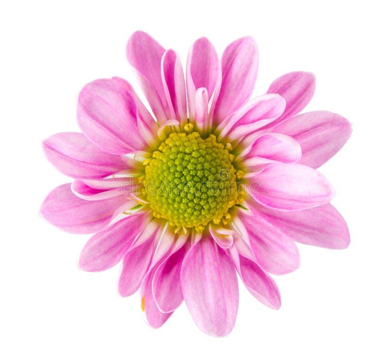 Różowy gerbera stokrotki okwitnięcie zdjęcia royalty free