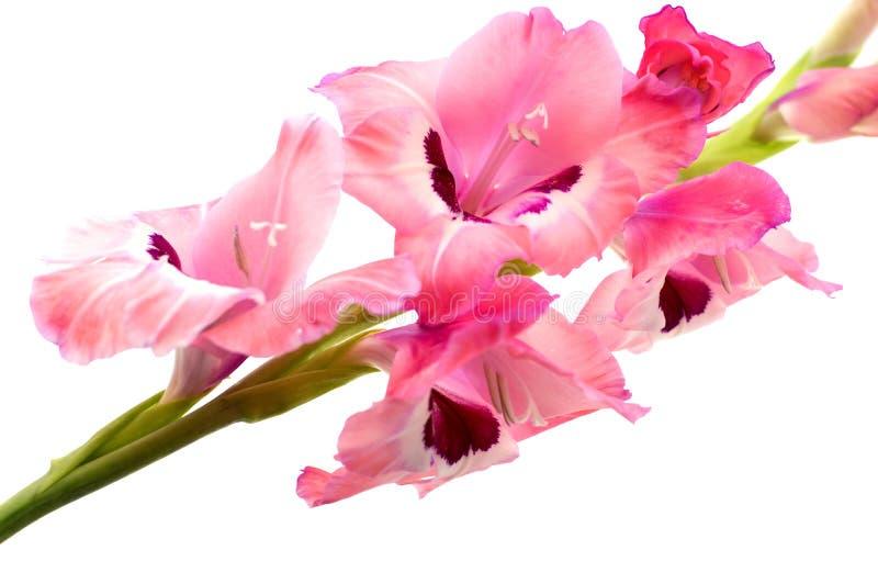 Różowy gladiolus odizolowywający obraz royalty free