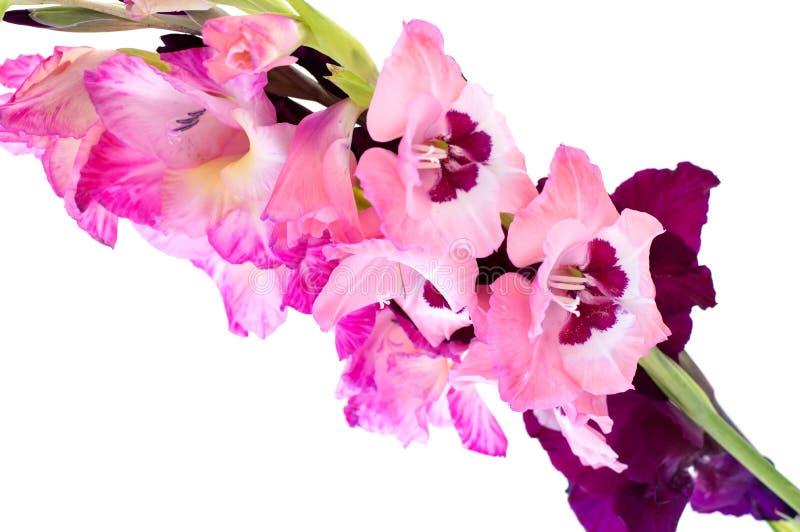 Różowy gladiolus odizolowywający zdjęcie stock