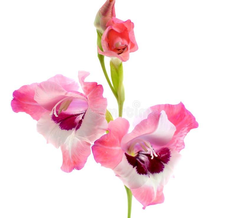 Różowy gladiolus odizolowywający obrazy stock