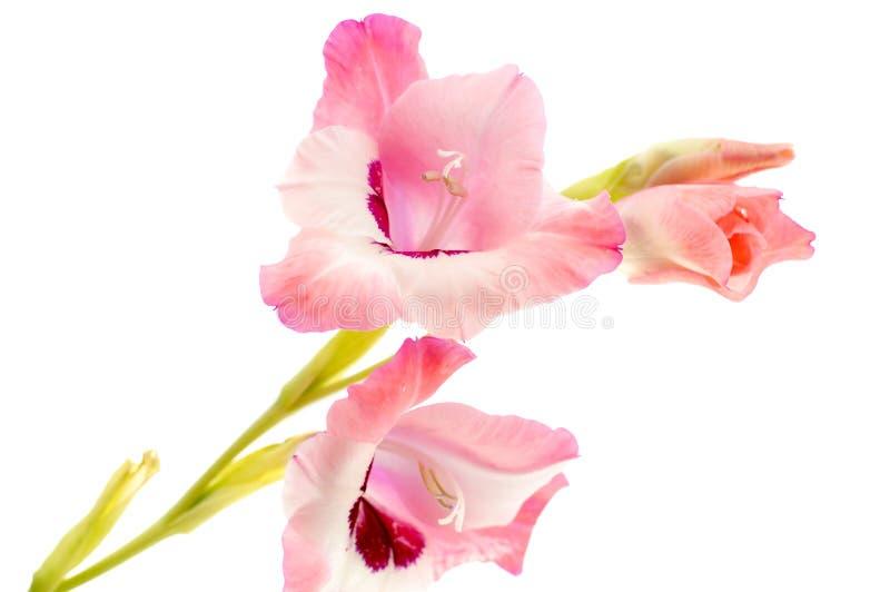różowy gladiolus odizolowywający na bielu obrazy royalty free