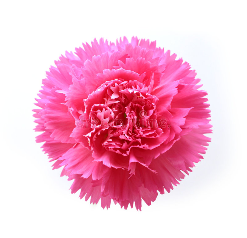 różowy goździk zdjęcia royalty free