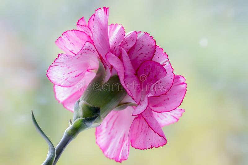 Różowy goździk zdjęcie stock