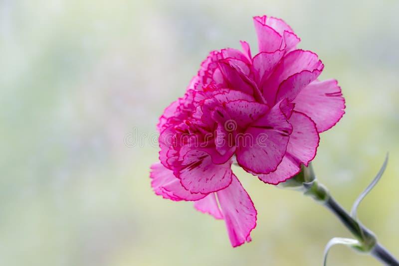 Różowy goździk zdjęcia stock