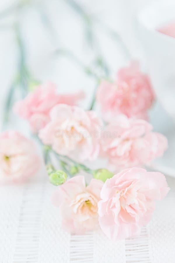Różowy goździk kwitnie na białym tle zdjęcie royalty free