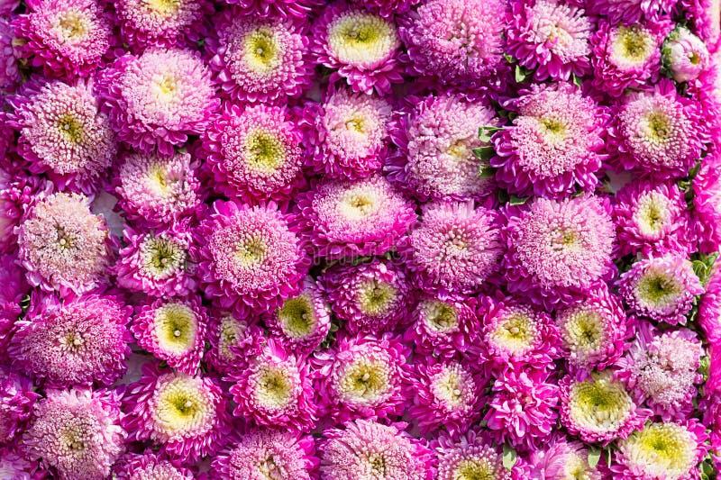 Różowy goździk Kwitnie Pięknego obrazy stock