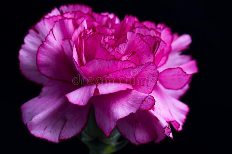 Różowy goździk na czarnym tle zdjęcia stock