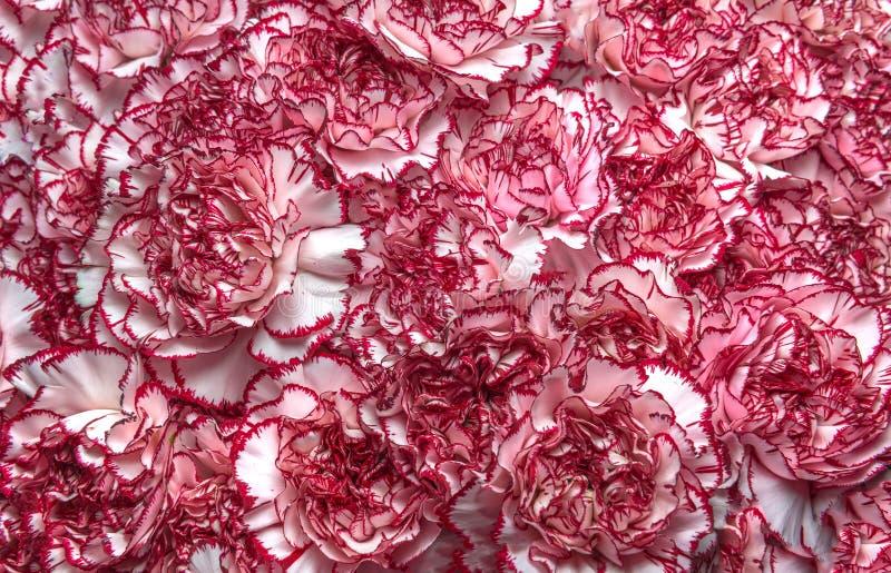 Różowy goździka tło zdjęcia stock