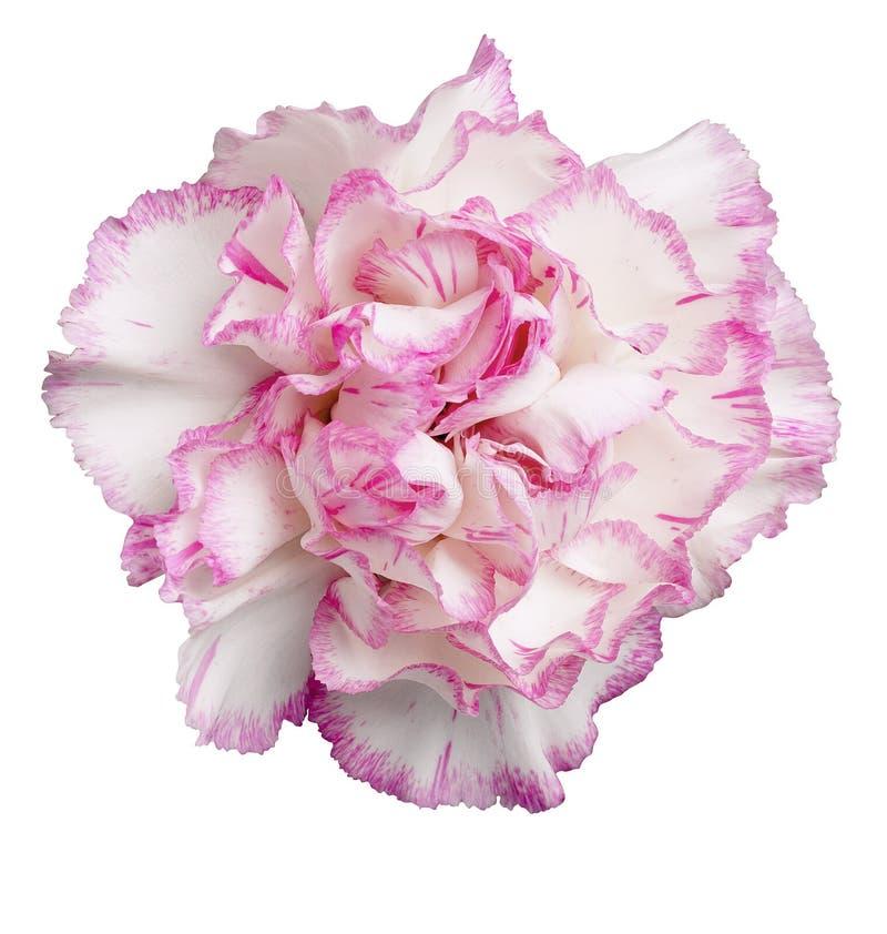 różowy goździka white zdjęcie stock