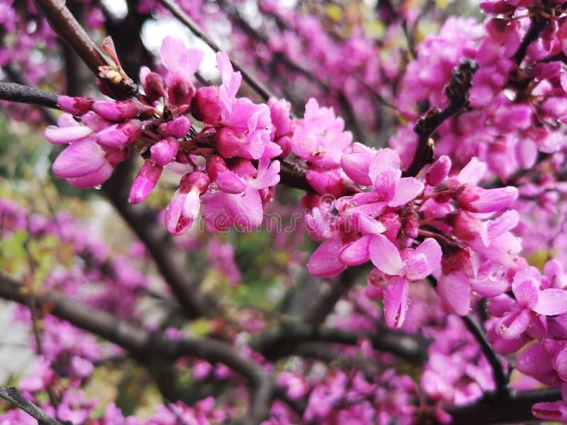 Różowy grochodrzewu Pseudoacacia drzewo fotografia stock